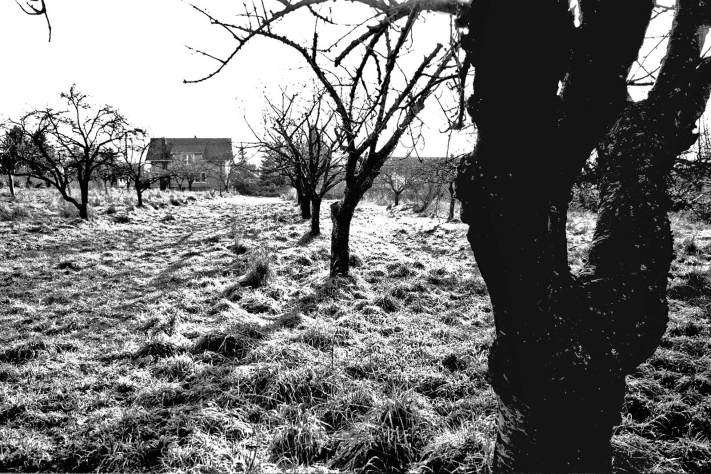 Temporarily untended the Good Shepherd orchard awaits its fate, ca. 1978.