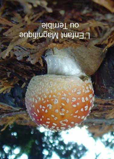 xterinfant-mushroomweb