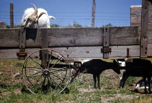 Horace-Sykes-Goats-on-Goats-WEB